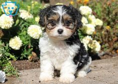 Get A New Puppy Today! View our ADORABLE Newborn Puppies You can get a new puppy today by viewing our adorable newborn puppies of many different breeds! Baby Puppies For Sale, Free Puppies, Newborn Puppies, Dogs And Puppies, Puppies That Stay Small, Small Puppies, Puppy Mix, New Puppy, Best Puppy Names