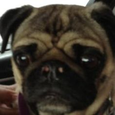 Angel is an adoptable Pug Dog in Randolph Center, VT. Angel is a fawn purebred Pug.  She is a small spayed adult.  She is current on her vaccinations, flea/tick/heartworm preventative, negative for he...