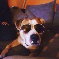 "29 Likes, 1 Comments - Denay (@denay.bln) on Instagram: ""Ouhhh what?! #dog #englishbulldog #staffordshirebullterrier #ich #lw #sunglasses #dogsunglasses"""
