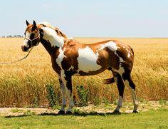 paint horse wa - Buscar con Google