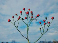 Rosehips the fruit of the  against the blue sky.This is the last day off before my husband starts a new job. Do you have any ideas for last day of break adventures?
