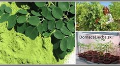This amazing green herb is known as moringa plant. It's a popular herb which also goes by the names of miracle tree, horseradish tree or the drumstick tree. Home Remedies, Natural Remedies, Herbal Remedies, Health Remedies, Moringa Recipes, Clear Lungs, Different Types Of Cancer, Miracle Tree, Cancer Fighting Foods