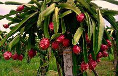 Dragon Fruit Cactus Pitaya Cutting by TomsTropicals on Etsy Yellow Dragon Fruit, Dragon Fruit Cactus, How To Grow Dragon Fruit, Red Dragon, Como Plantar Pitaya, Dragon Fruit Benefits, Natural Farming, Cactus Pot, 1 Live