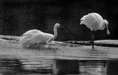 Stealing their colours - A rainy day in Ranganathittu Black And White Birds, The Three Musketeers, Stand Strong, Photo Storage, Still Standing, Wildlife, Colours, Weapon, Confidence
