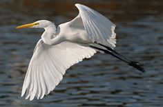 beautiful egret flying above a southern California lake