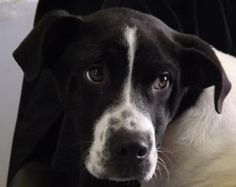 Frankee AT RISK is an adoptable Hound Dog in Waverly, OH. This dog has been wormed and vaccinated with a 5 way vaccine on 11/28/2012. 29.6 pounds Pike Pet Pals assists in helping dogs get out of the P...