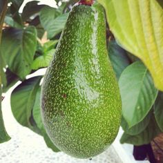 Aguacate Colombiano/Colombian avocado (everything is bigger in Colombia!) Yum!