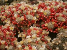 Маммилярия отпрысконосная (Mammillaria prolifera Mill)