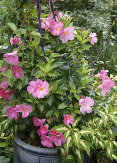 5 Fabulous Flowering Vines for Your Container Gardens: Mandevilla and  Dipladenia