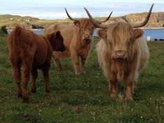 "#Scotland (awww, highland cows! that's ""heeland cooos"" to the Scots!)"