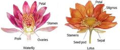 What is The Difference Between Water Lily and Water Lotus?