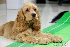 cocker spaniel puppy
