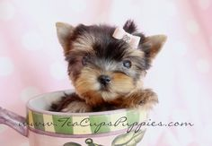 I'm a little tea-cup, short and stout! Adorable teacup Yorkie...