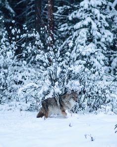 (Bow valley parkway, Banff, Alberta) by Tanner Wendell Stewart / Banff Alberta, Alberta Canada, Canadian Wildlife, Wolf Spirit, Winter Photos, Winter Beauty, Winter Scenes, Big Cats, Animals Beautiful