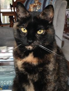 """""""Tortitude"""" -- The Unique Personality of Tortoiseshell Cats: Fact or Fiction? I have three torties and yes, they definitely meet the criteria - strong-willed, fiercely independent, possessive of their human, and talkative. I Love Cats, Crazy Cats, Cool Cats, Beautiful Cats, Animals Beautiful, Cute Animals, Animals Images, Siamese Cats, Cats And Kittens"""