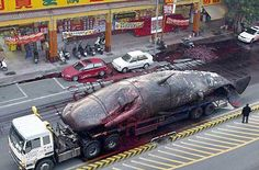 """Ewwwwwwwwwww ..... """"Unfortunately, on the way through the city, gasses built up to a critical level in the whale and it exploded, spewing whale guts in the street, on the cars and over pedestrians"""""""