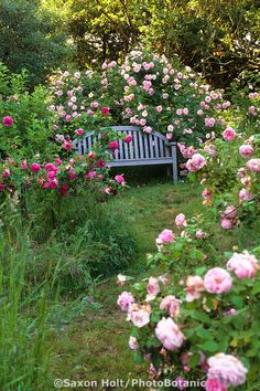 Garden bench with climbing roses (Heirloom rose 'Fritz Nobis') - credit MIchael Bates