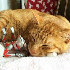 ゴールデンウィークだ寝。 #猫 #茶トラ #cat