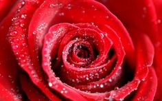 WALLPAPERS HD: Water Drops on Red Rose