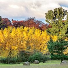 The South's Best Fall Color: Blandy Ginkgo Grove