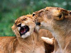 hermosos leopardos, tigres, leones, pumas y linces