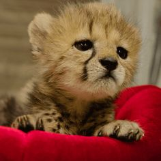 Discover & share this San Diego Zoo GIF with everyone you know. GIPHY is how you search, share, discover, and create GIFs. Zoo Animals, Cute Baby Animals, Animals And Pets, Funny Animals, Cheetah Cubs, Cheetah Animal, Beautiful Cats, Animals Beautiful, Beautiful Pictures