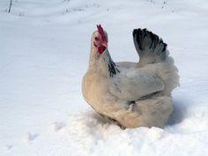 Čo robiť, aby sliepky v zime niesli? | Záhrada | byvanie.sme.sk