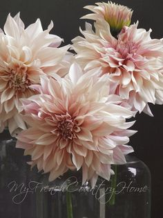 Soft pink dahlias, My French Country Home, French Living - Sharon Santoni