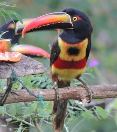 Costa Rica, Fiery-billed Aracari