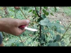 YouTube How To Dry Basil, Herbs, Youtube, Life, Herb, Spice