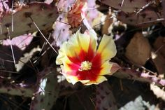 Macrocentra Opuntia or purple prickly pear flowers are yellow with red center and about 7.5 cm/2.95 in. in size