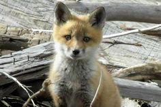 If there's anything cuter than a baby fox ...