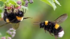 'Two Bumblebees, The First One On A Flower, The Second In Flight, Spring 2012, Near Moscow, Russia' via Shutterstock
