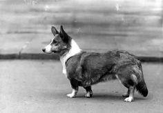 1937 Cardigan Welsh Corgi Photo: CH 'Dinah of Wilmorton'. This Photo was uploaded by Pietoro Cardigan Welsh Corgi, Thing 1, Pembroke Welsh Corgi, Corgi Dog, Canvas Prints, Art Prints, Gloss Matte, New Image, Animals And Pets