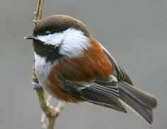 Flickriver: janruss's photos tagged with chestnutbackedchickadee