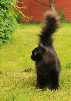 we love cats. Pretty Cats, Beautiful Cats, Animals Beautiful, Cute Animals, I Love Cats, Crazy Cats, Cool Cats, Norwegian Forest Cat, Maine Coon Cats