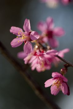 A sliver of trivia: this flowering cherry hybrid was developed at the U.S. National Arboretum in D.C. by the prolific Dr. Donald Egolf, back in 1982. However, it wasn't until 2003 that 'First Lady' made its way onto the horticulture scene at large. It boasts the abundant flowers and hardiness of the mother plant, 'Okame,' with the coloration of its father, the Taiwan flowering cherry (P. campanulata).