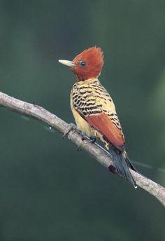Foto pica-pau-do-parnaíba (Celeus obrieni) por Edson Endrigo   Wiki Aves - A Enciclopédia das Aves do Brasil