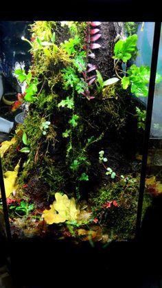 Gorgeous day gecko vivarium pets terra aquariums - Begonia argentata ...