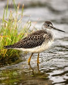 Ontario Birds - Greater Yellowlegs