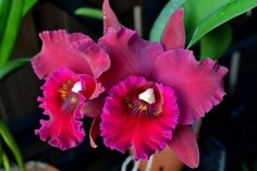 Rsc. Hey Song 'Tian Mu'........ Large fragrant dark red cattleya- Orchid Board - Most Complete Orchid Forum on the web !
