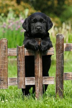 Can't wait till me and Michael get our black lab puppy :D