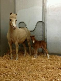Miniature horse w/filly-