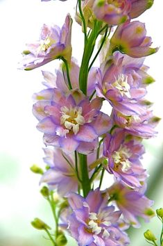 Picotee delphinium  // Great Gardens & Ideas // by lakisha