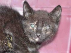 **MUST BE PULLED BY A NEW HOPE RESCUE**SHADOWCAT  - A1125201 – 9 week female black kitten: Super Urgent Shelter Cats  These animals are either high risk, injured or have previously appeared on the To Be Destroyed list and survived. They are in danger of being on the list again or destroyed without any further notice.
