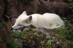 beautiful white fox