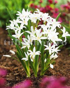 Este o planta perena, de gradina, cu o rezistenta buna la frigul iernii. Altfel spus, bulbii de viorea nu trebuie scosi din pamant toamna, inainte de inghet. Frigul iernii este o etapa necesara pentru o inflorire buna anul urmator. Soiul de viorea alba este un hibrid nou obtinut ce infloreste mai bogat, cu flori mai mari si mai inalte decat soiul tranditional albastru.  Bulbii de viorele se inmultesc usor, formand in paduri si la marginea lor adevarate covoare albe. Plants, Gardens, Plant, Planting, Planets