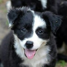 *Ivy League* Cornell is an adoptable Border Collie Dog in Garland, TX. CORNELL  is an 8 week old female border collie puppy that is part of our Ivy League litter. Momma Ivy and her 8 babies came to us...