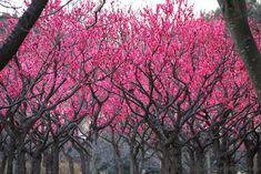 Ume Garden, Japan