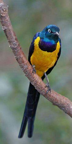 Koningsglansspreeuw - Golden-breasted Starling (Lamprotornis regius) in East Africa by Richard Steel.